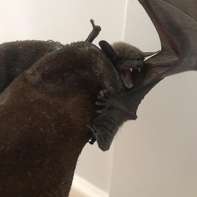 Bat Removal in Jacksonville FL